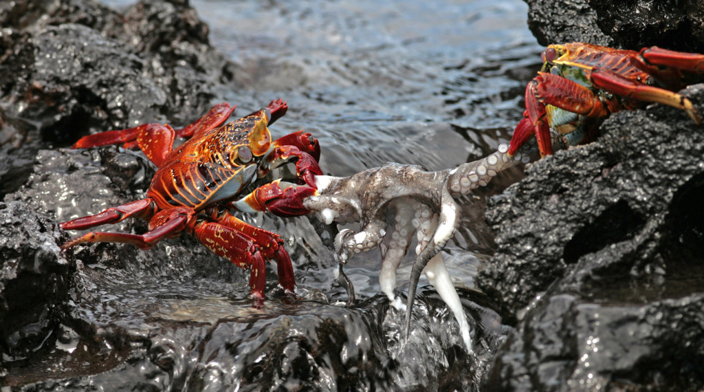 Crabs versus Octopus in Galapagos